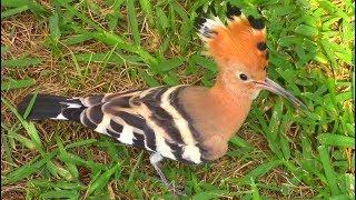 Красивая птица удод || Upupa epops || Hoopoe