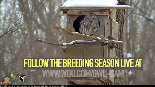 Watch the Live Barred Owl Cam - Wild Birds Unlimited thumbnail