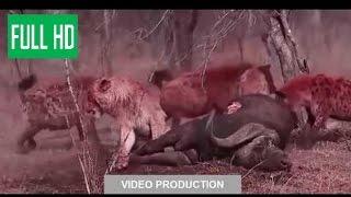 ЛЕВ,ГЕПАРД ПРОТИВ ГИЕНЫ!!  борьба диких животных