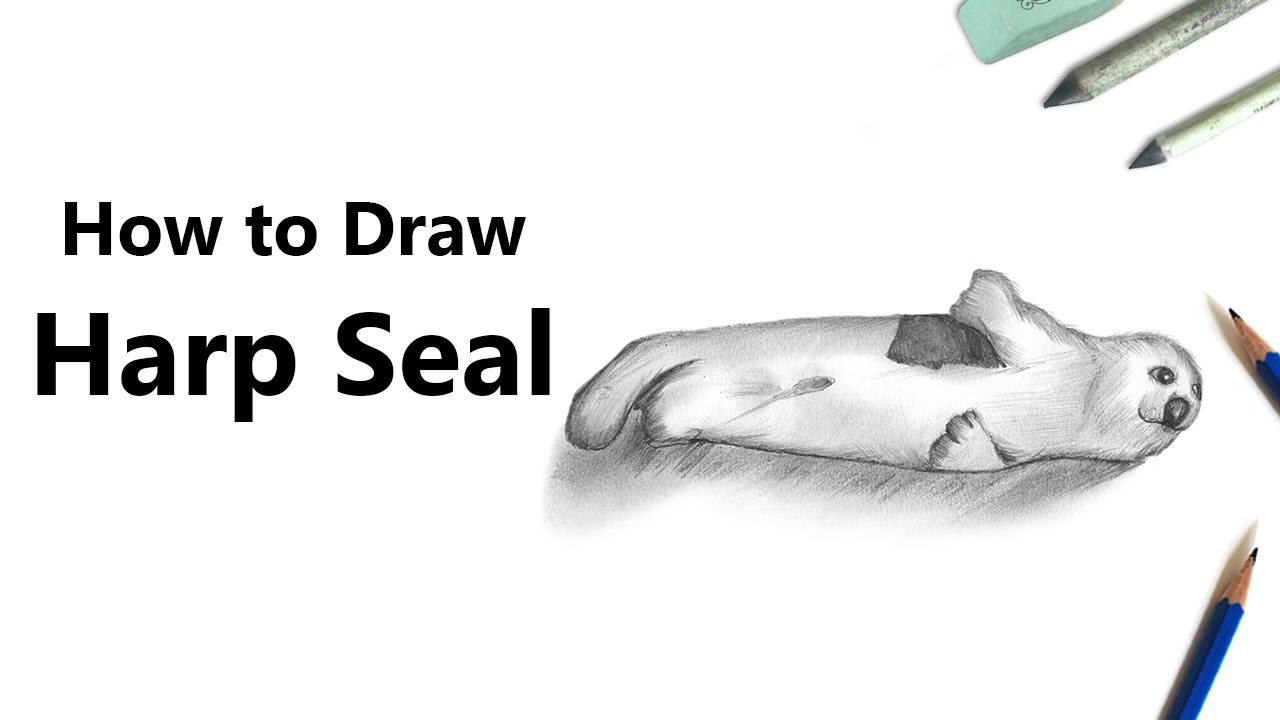 how to draw a harp seal with pencils time lapse youtube