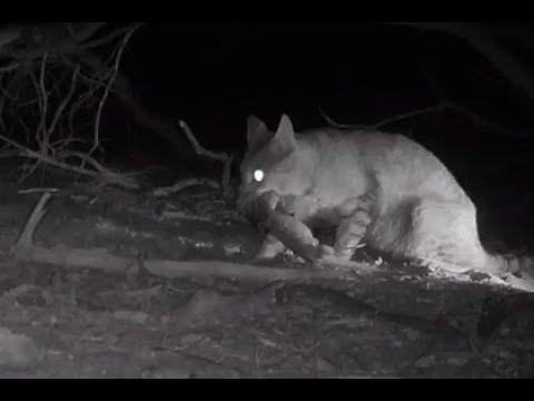 В Австралии убьют миллионы диких кошек