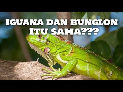 Animal Insight Eps.2 - Perbedaan antara iguana dan bunglon