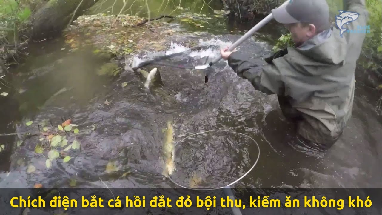 Chích điện bắt cá hồi đắt đỏ bội thu, kiếm ăn thật không khó