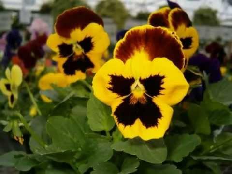 Анютины глазки - выращивание из семян