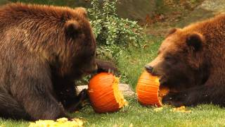 Http://www.bronxzoo.com/booto the bronx zoo's brown bears, pumpkins are for eating and batting around, not decorating or carving. watch them roll, taste, and...