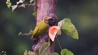 Greater Yellow Nape Woodpecker feeding Papaya