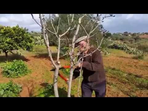 Формирование кроны груши: правила обрезки и схема.