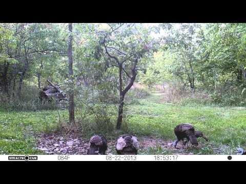 Turkeys eating on deer feed