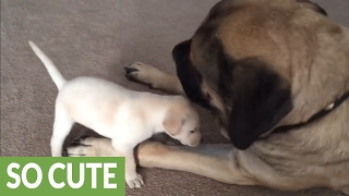 Fearless puppy plays with giant English Mastiff
