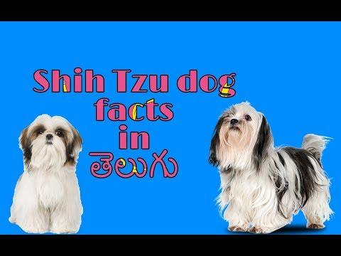 Shih Tzu dog Facts in Telugu popular dog | Taju logics
