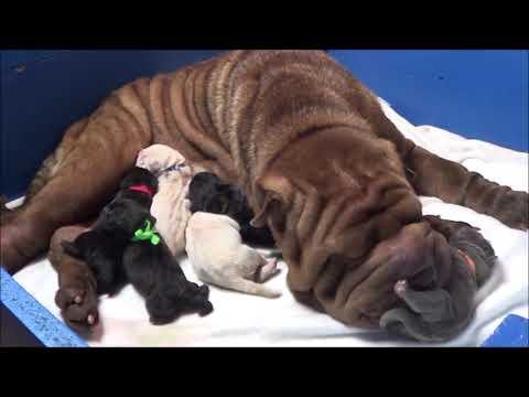 Shar Pei parto en vivo . Nacimiento cachorros azules. www.sharpei.es . Childbirth dogs puppys