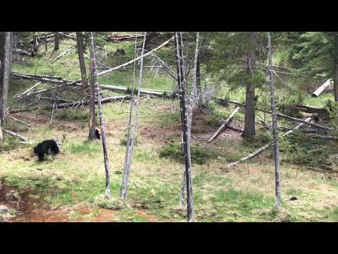 Black Bear and Three Cubs Climbing and Soaking in Yellowstone