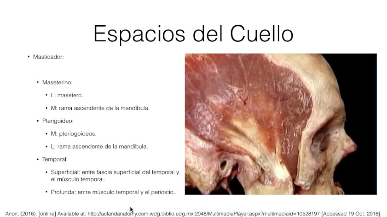 Anatomia Cuello Parte 2 - YouTube