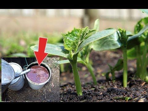 Подкормите этим огурцы после всходов в конце мая июне для супер урожая! Чем подкормить огурцы?