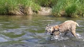 Just a Bobcat conquering the Bull River.