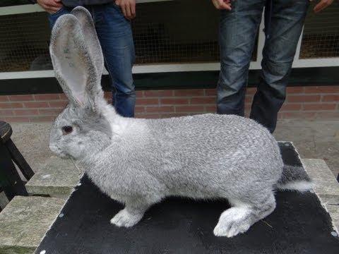 породы кроликов видео