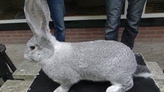 Кролики в Голландии, Фламандский гигант