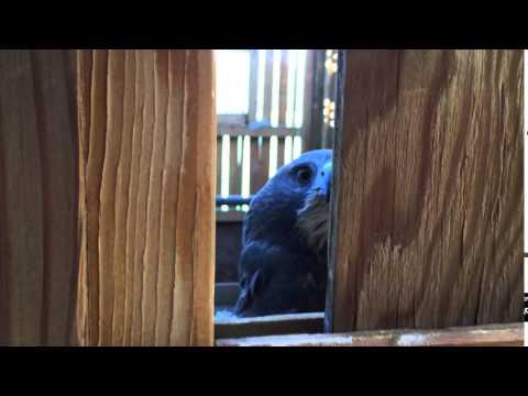 Swainson's Hawk Scream