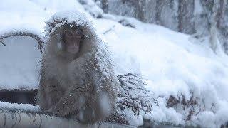 """Jigokudani Wild Snow Monkey Park"" in Japan."