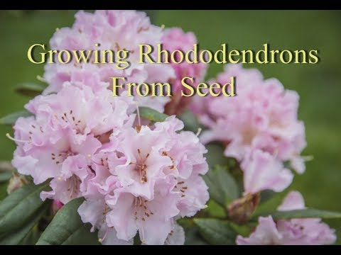 Growing Rhododendrons From Seed Youtube