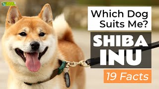 Is a Shiba Inu the Right Dog Breed for Me? 19 Facts About Shiba Inus!