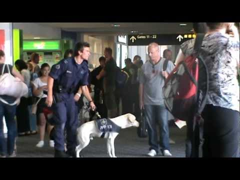 Airport Security Dog, Melbourne Airport, Victoria