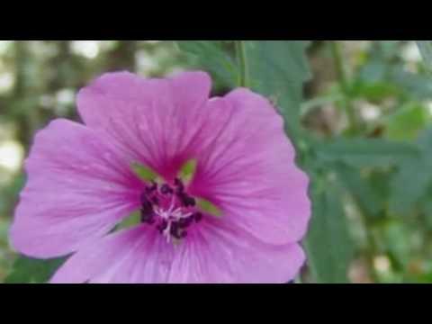 Лекарственные растения Алтей коноплёвый (лат. Althaea Cannabina)