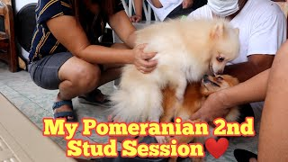 My Pomeranian Second Stud session❤