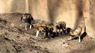 African Wild Dogs Interacting With Each Other
