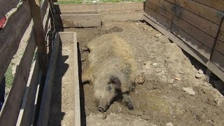 Содержание свиней отдельно от стада. Фермерское хозяйство Евгения Андриенко