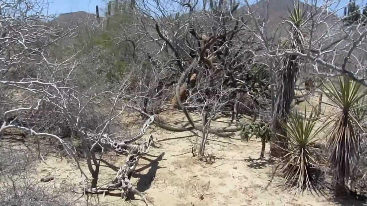 Baja Desert Cactus Walk Youtube