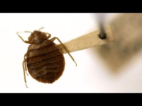 Bedbug battle: study suggests insects developed thicker skin to beat insecticides