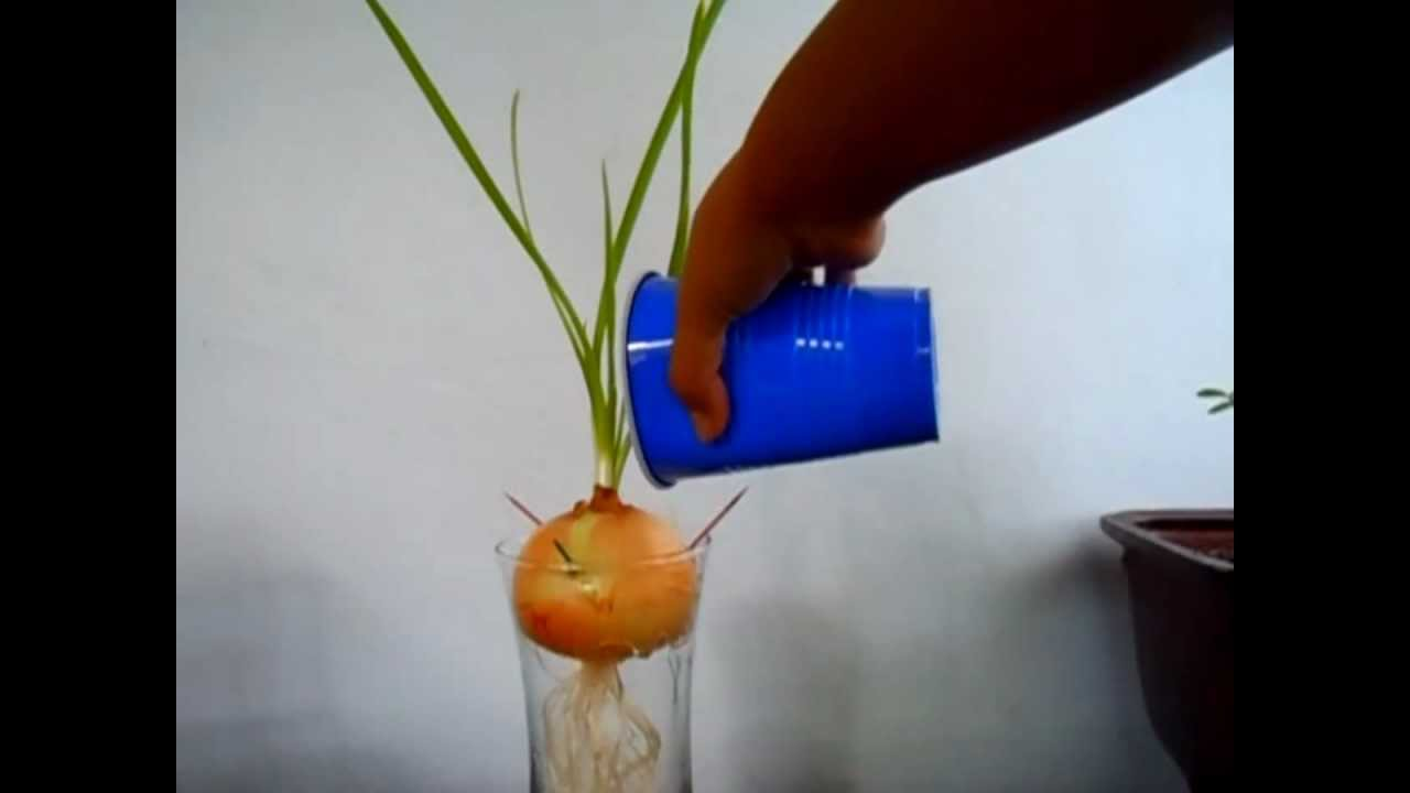 How to Grow Onions in Water