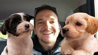 We Got TWO Puppies!! 8week old Havanese Siblings