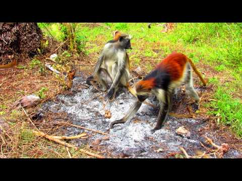 Red Colobus Monkeys Eating Charcoal with Baby