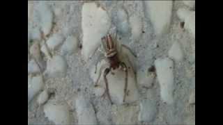 """Meraviglioso """"Ragno saltatore"""" rosso e bianco - Wonderful red and white """"jumping Spider"""""""