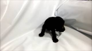 ケリーブルーテリア専門店 http://aidol-doggy.com/kerry_blue_terrier/...