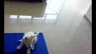 Westie Yogy Training Sit Stay With Distraction