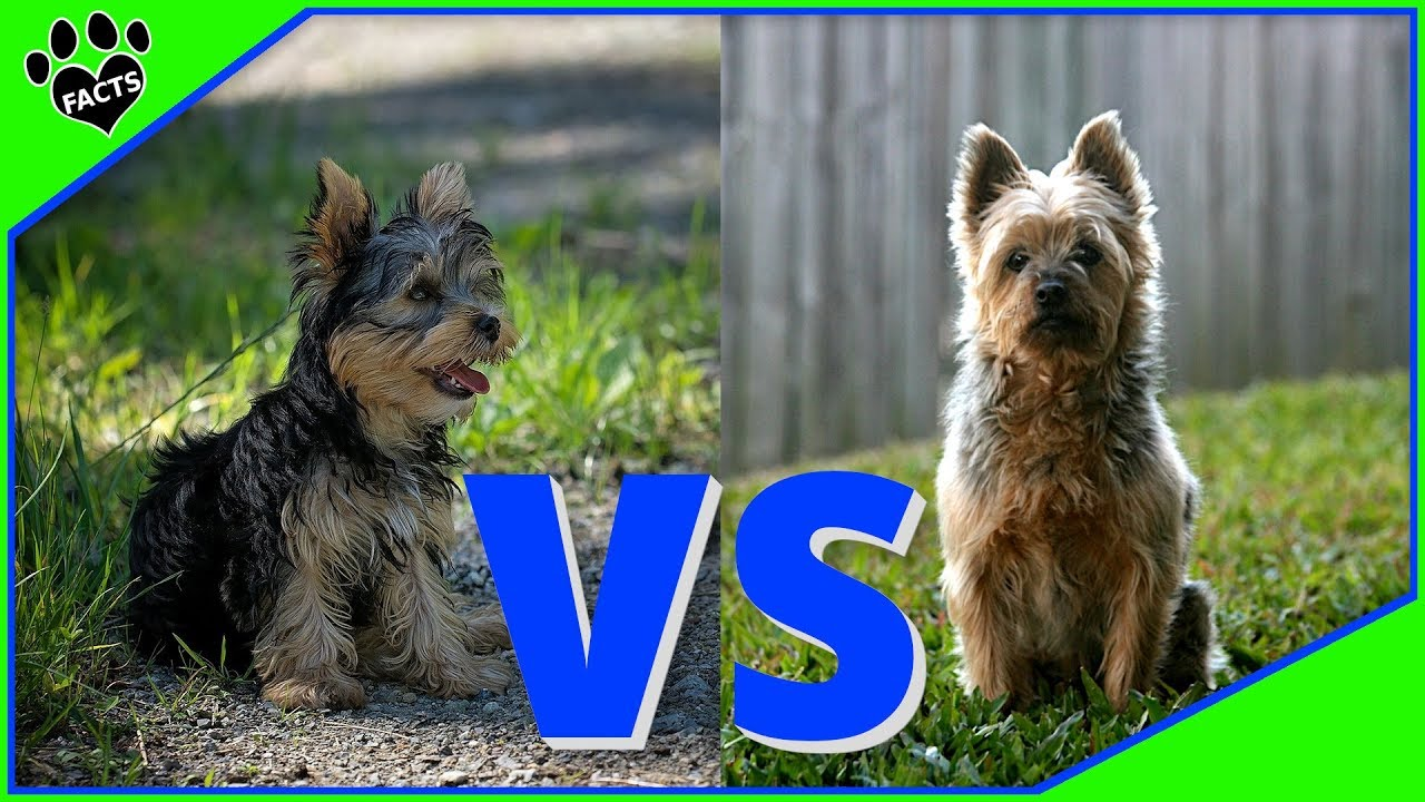Yorkshire Terrier Vs Silky Dog