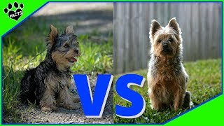 Yorkshire Terrier Vs Silky Terrier Dog vs Dog Which is Better?