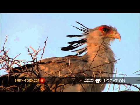 Africa's most unusual bird of prey