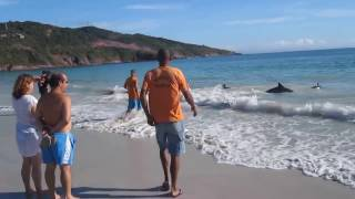 30 Dolphins stranding and incredibly saved! Extremely rare event! crariyo  crariyo