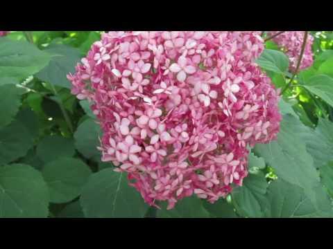 Гортензия древовидная «Пинк Аннабель» «Pink Annabelle» 2016г