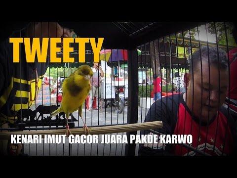 Download Lagu SUARA BURUNG : Video Lucu !! Kenari Tweety Imut Gacor Juara Pakde Karwo Surabaya