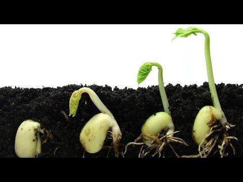 Как Сажать Фасоль Спаржевую.Выращивание.asparagus bean.