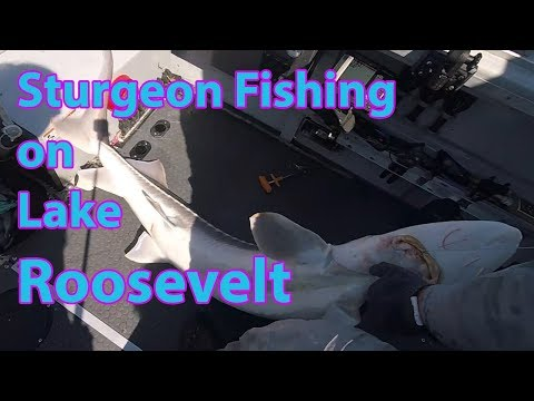 Sturgeon Fishing On Lake Roosevelt - Www.FishingWa.us