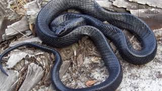 Interesting facts about indigo  snake by weird square
