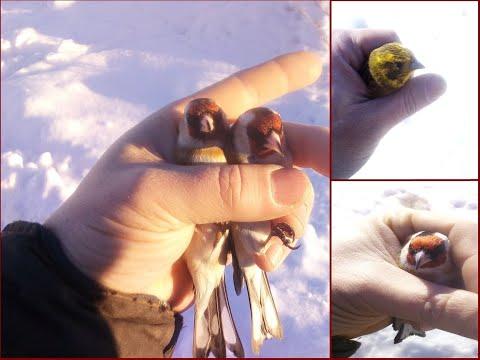 Ловля певчих птиц. Щеглы. Овсянки. Goldfinch catching.