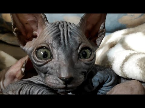 Cute sphynx kitten is very curious and interested in the camera / DonSphynx /