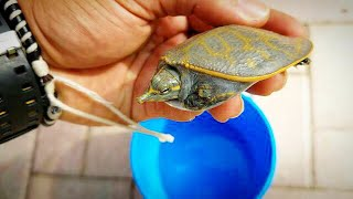 RESCUED a RARE BABY SoftShell TURTLE!